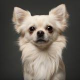 18 gammala chihuahuamånader Royaltyfria Bilder