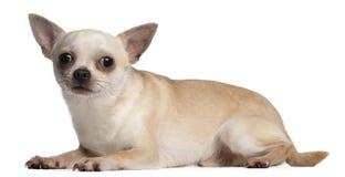 18 gammala liggande månader för chihuahua ner Fotografering för Bildbyråer