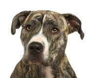 18 mois américains de chien terrier du Staffordshire Images stock