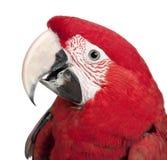 18 mois de macaw de vert de chloropterus d'ara se sont envolés Photographie stock libre de droits