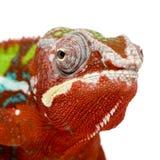 18 pardalis месяцев furcifer хамелеона ambilobe Стоковое фото RF