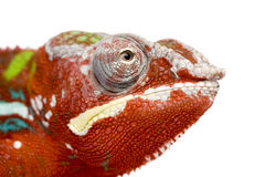18 pardalis месяцев furcifer хамелеона ambilobe Стоковые Фотографии RF