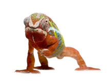 18 pardalis месяцев furcifer хамелеона ambilobe Стоковая Фотография RF