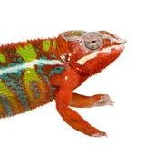 18 pardalis месяцев furcifer хамелеона ambilobe Стоковое Изображение RF