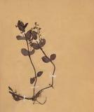 1896 χρονολογημένος ξηρός τρύγος εγγράφου φυλλώματος λουλουδιών Στοκ Φωτογραφίες