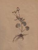 1896 daterad torkad blommapapperstappning Royaltyfri Foto