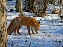 19只狐狸红色 免版税库存图片