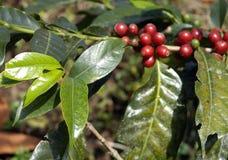 19咖啡危地马拉结构树 免版税库存照片