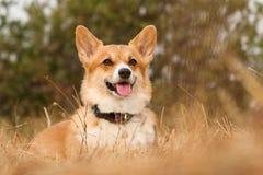 19条小狗pembroke威尔士 免版税图库摄影