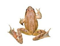 19青蛙 免版税库存照片