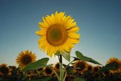 19 солнцецветов Стоковые Фото