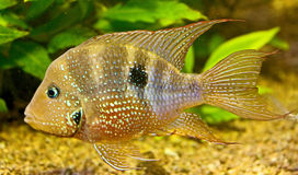 19 akwariów ryb Obrazy Royalty Free