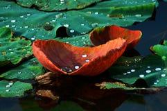 19 lotusblommar Arkivbild
