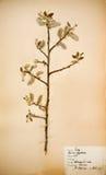1930s цветут отжато Стоковая Фотография