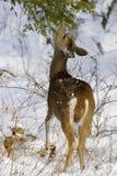 1b鹿 库存照片