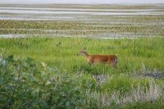 1条鹿myakka河 库存照片