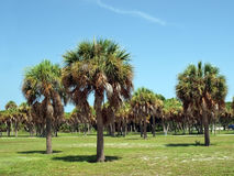 2个佛罗里达掌上型计算机公园结构树 免版税库存照片