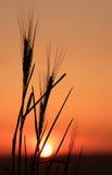 2个剪影麦子 免版税库存照片
