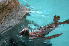 2个加利福尼亚居民狮子海运 免版税库存图片