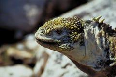 2个加拉帕戈斯鬣鳞蜥海岛地产 免版税图库摄影