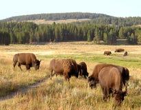 2个北美野牛水牛黄石 免版税图库摄影