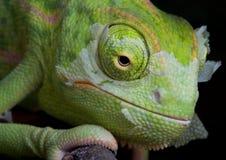 2个变色蜥蜴流洒 库存图片