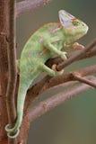 2个变色蜥蜴结构树遮掩了 免版税库存照片