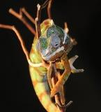 2个变色蜥蜴蜥蜴 库存照片