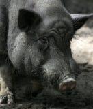 2个坏的猪 免版税库存照片