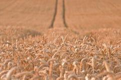 2个域金黄麦子 库存照片