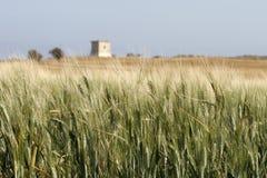 2个域麦子 免版税库存图片