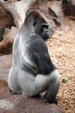 2个大猩猩loro公园tenerife动物园 库存图片