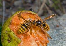 2个大黄蜂 免版税库存图片