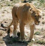 2个女性狮子 免版税库存图片