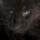 2个崽捷豹汽车月onca panthera 免版税图库摄影