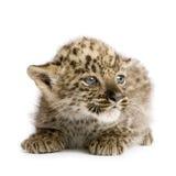 2个崽豹子月波斯语 免版税库存照片