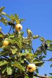 2个工厂柑橘 免版税图库摄影