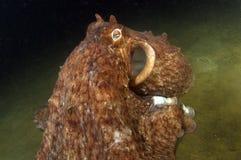 2个巨人章鱼太平洋 库存照片