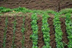 2个庭院剧情蔬菜 免版税库存图片