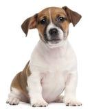 2个插孔月小狗罗素狗 免版税库存图片
