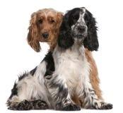 2个斗鸡家英国老西班牙猎狗二年 库存照片