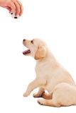 2个月大拉布拉多猎犬小狗想要使用 免版税库存图片