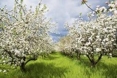 2个果树园春天 库存图片
