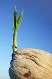 2个椰子幼木 库存图片