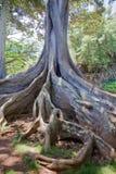 2个海湾图moreton结构树 免版税库存图片