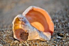 2个海滩海运壳 免版税库存图片
