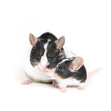 2个爱鼠标 库存图片