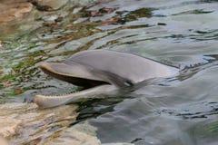 2个特写镜头海豚 库存照片