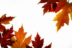 2个由后面照的颜色秋天留给槭树混合 免版税库存图片