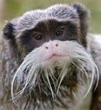 2个皇帝绢毛猴 免版税库存图片